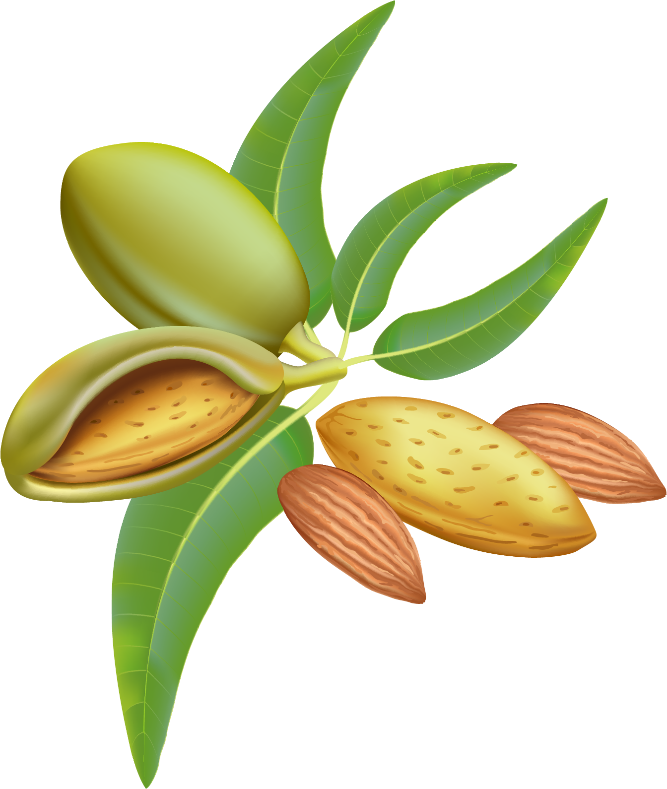 almond png transparent images png only #30295