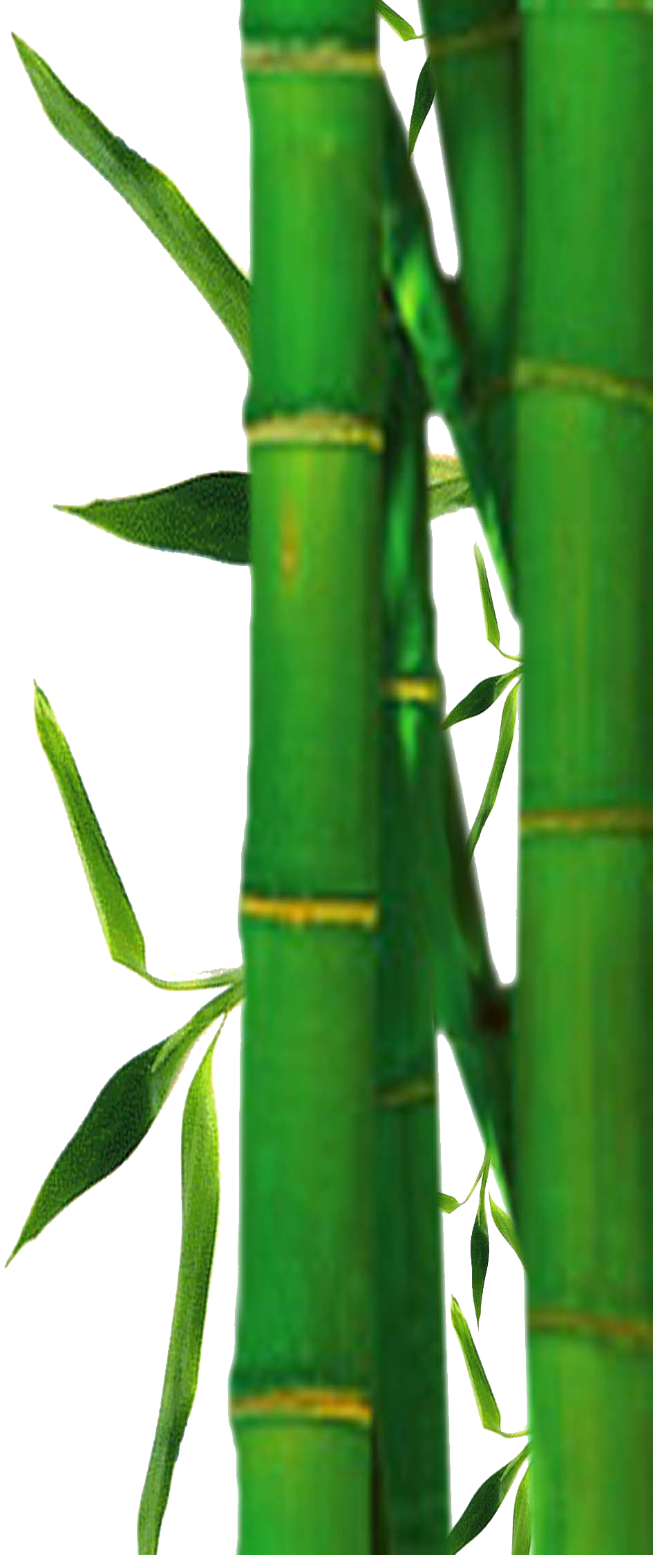 bamboo tree png clipart best #18290