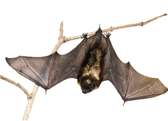 bat, bats wildlife animal pest control 20565