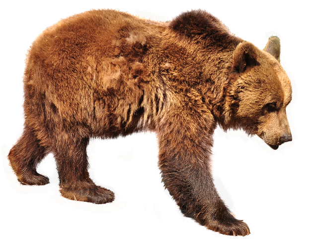 bear brown isolated photo pixabay #21634