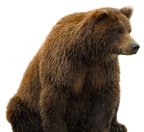 bear png transparent image pngpix