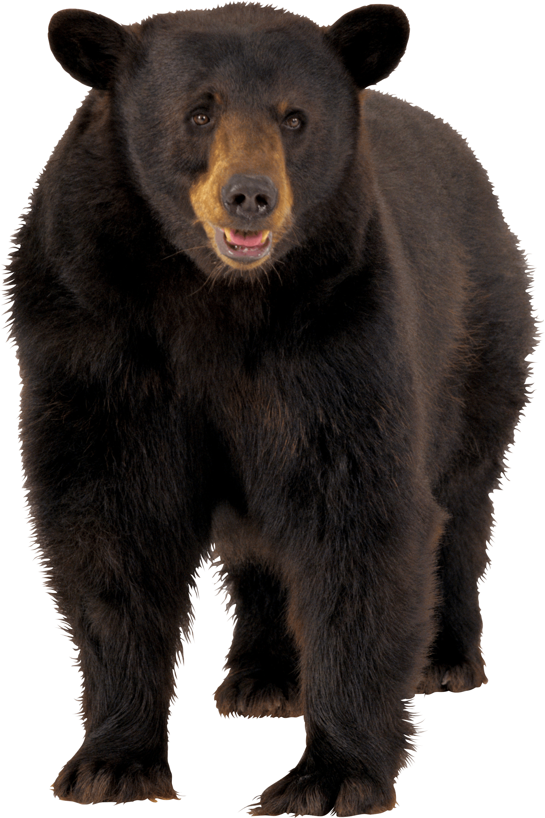 bear transparent background cute bear png black teddy polar bear images free transparent png logos bear transparent background cute bear