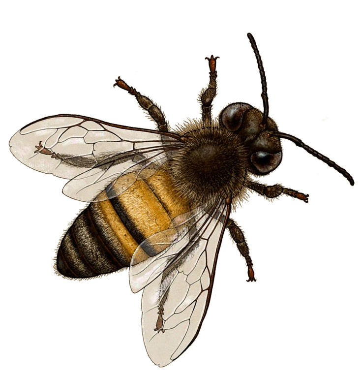 bee png transparent bee images pluspng #18965