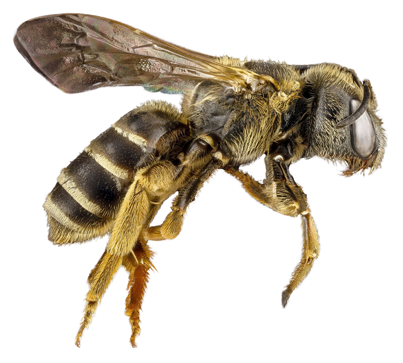 bee png transparent image pngpix #18937