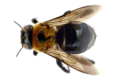 learn about carpenter bees carpenter bee identification #18969