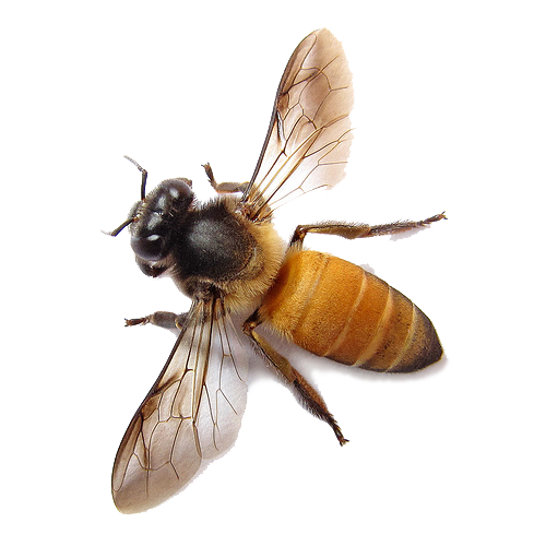 png honey bee transparent honey bee images pluspng #18978