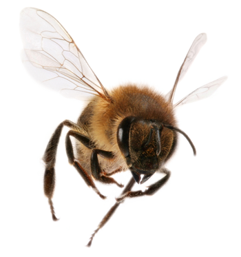 png honey bee transparent honey bee images pluspng #18982