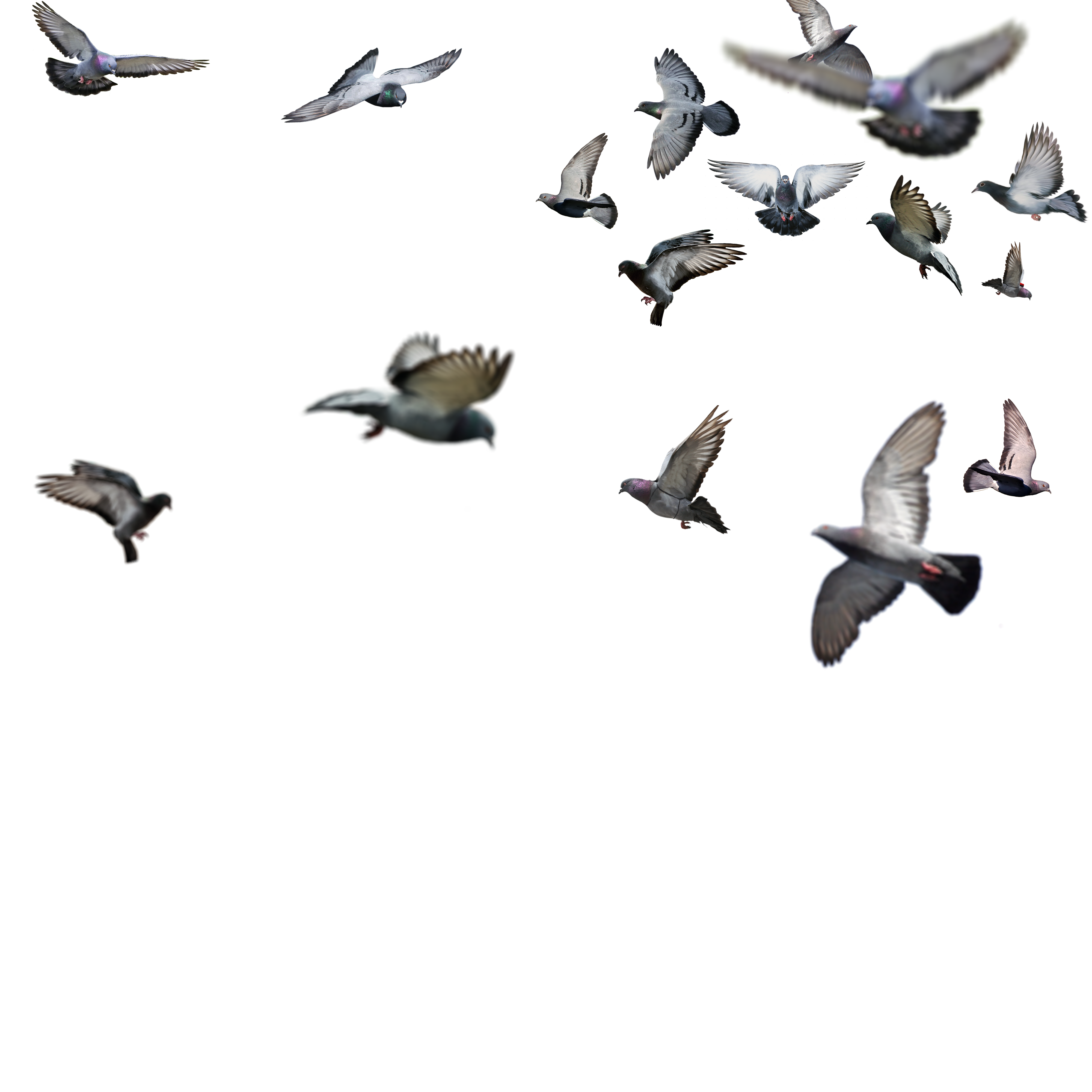 birds png flying bird png image litle pups #9519