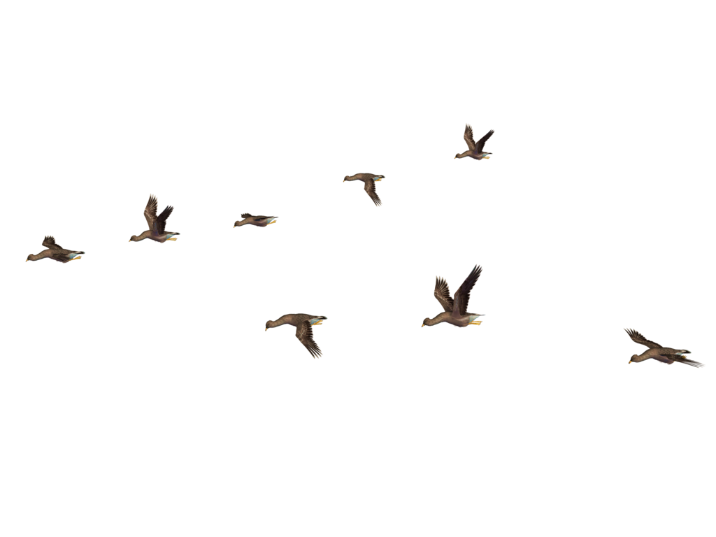 birds png google birds for photoshop pinterest #9525