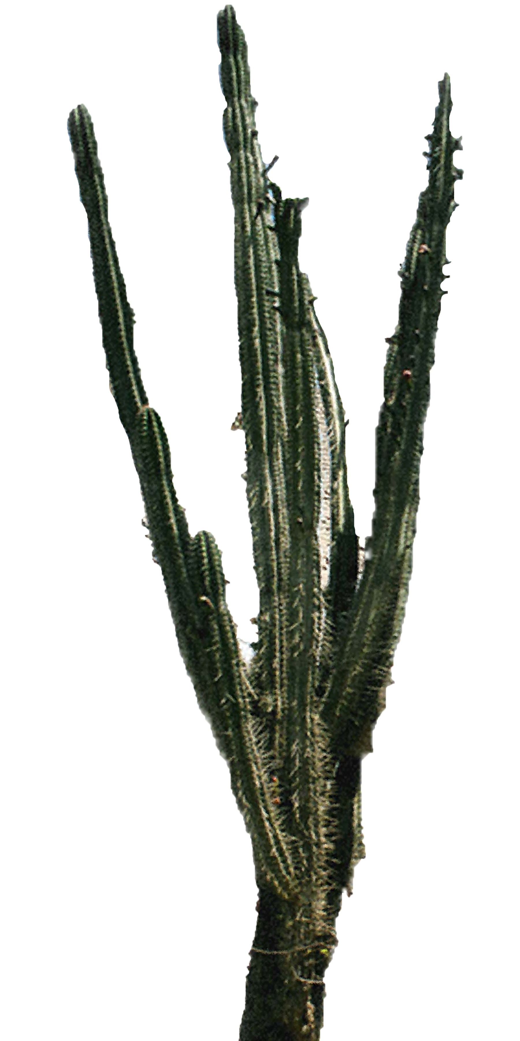 cactus png download best cactus png clipartmagm #22096