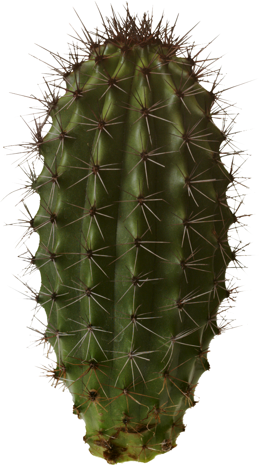 cactus png png image blue green and magenta #22154