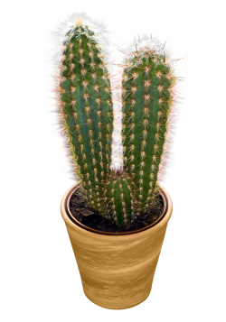 cactus, red pepper png image pngpix #22109