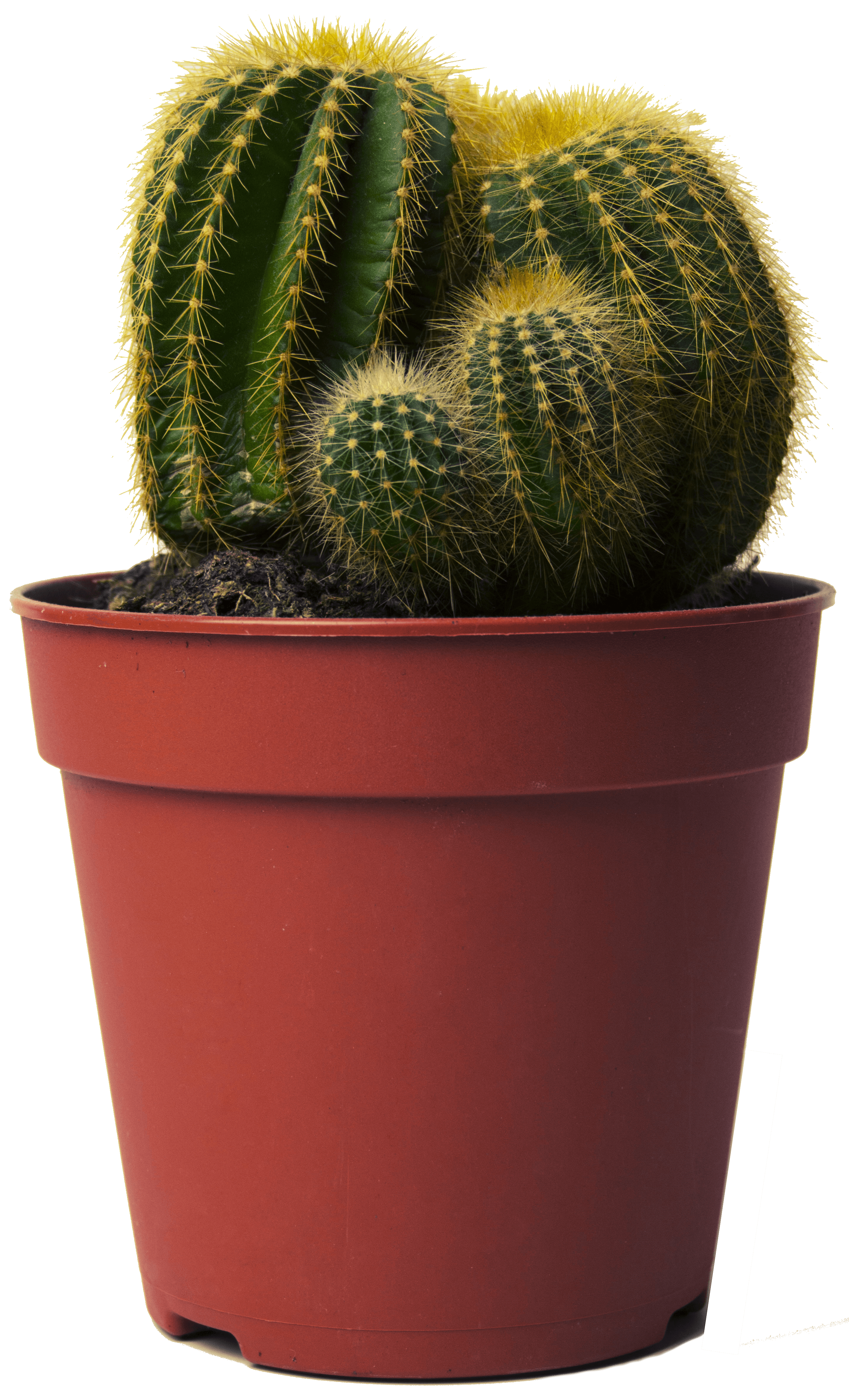 cactus, tips advice growing cacti sproutabl #22164