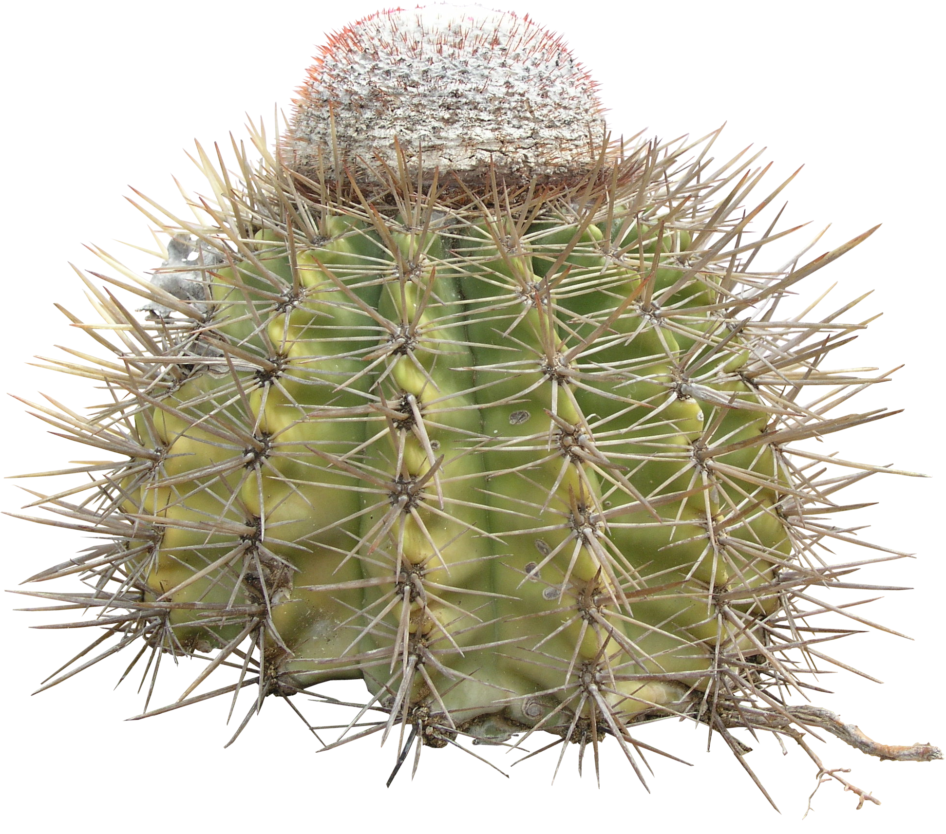 high qualityflora png textures cactus png high quality #22159
