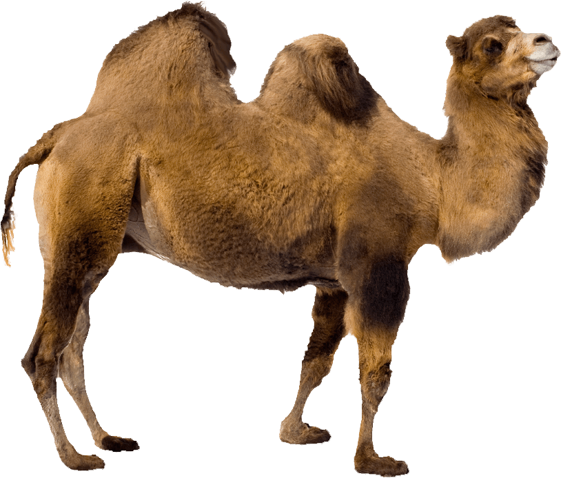 camel download images png icons and png #21418