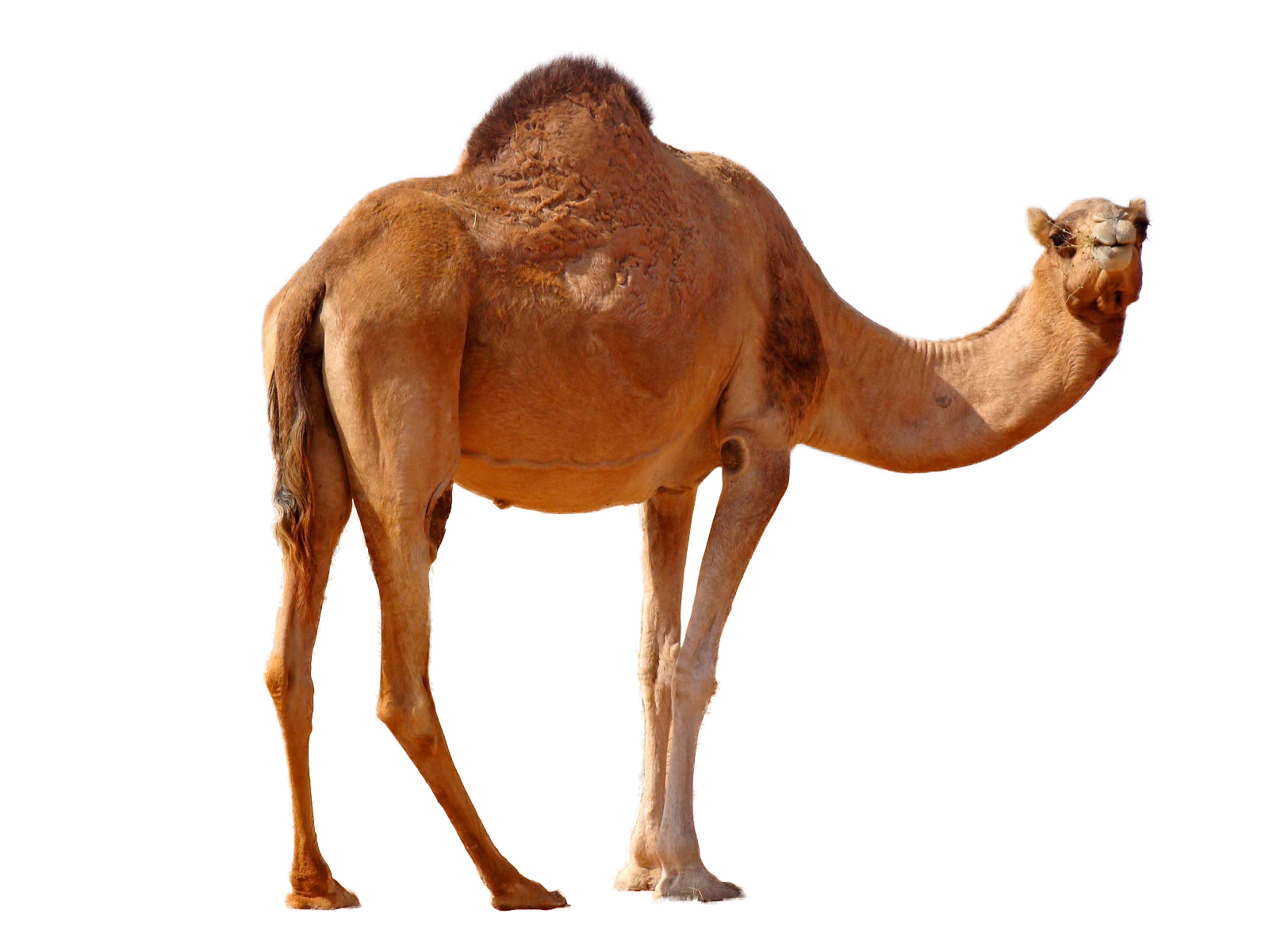 camel png image collection for download crazypng #21377