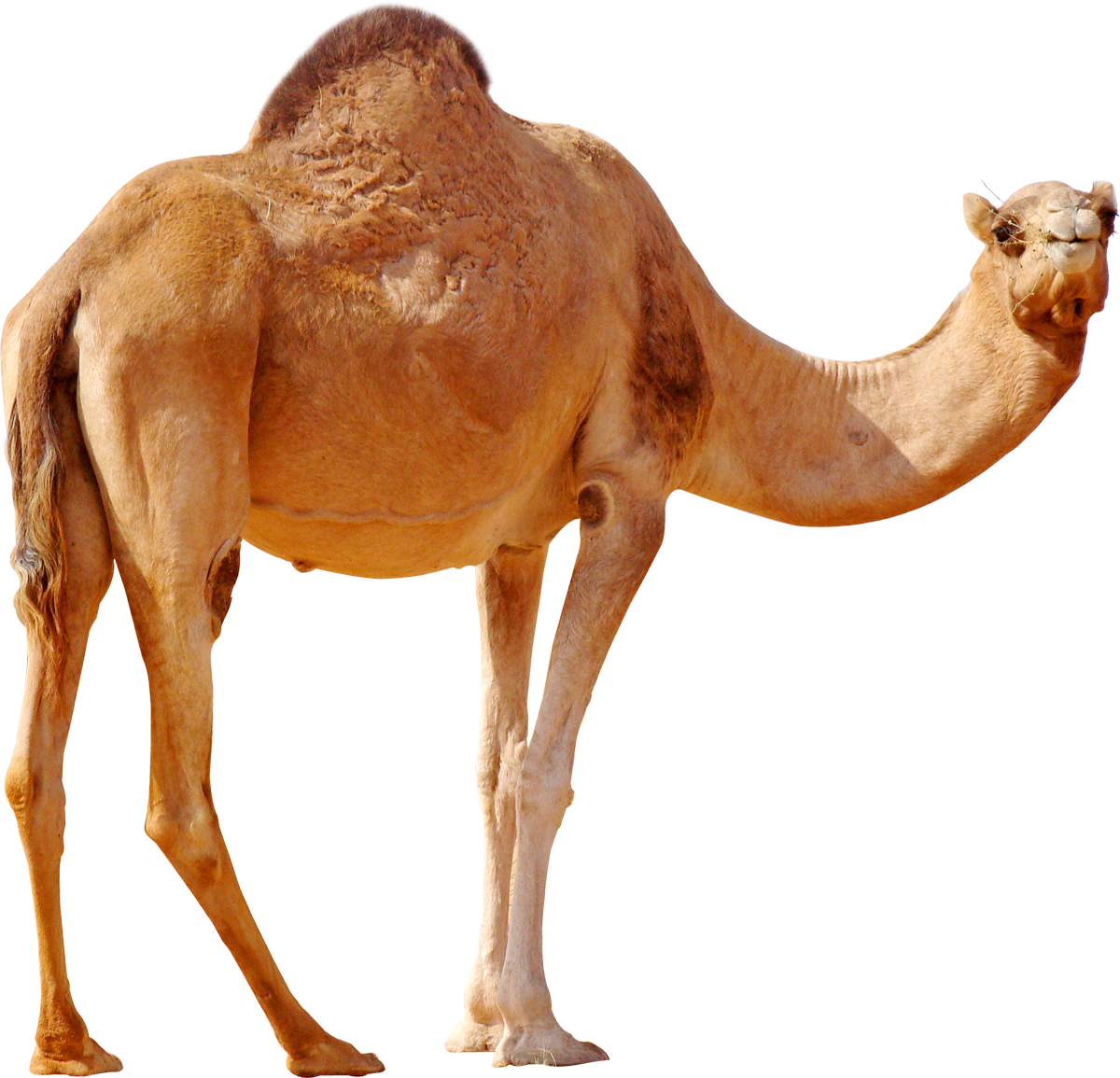 camel png image collection for download crazypng #21379