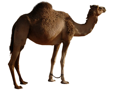 camel transparent png pictures icons and png #21390