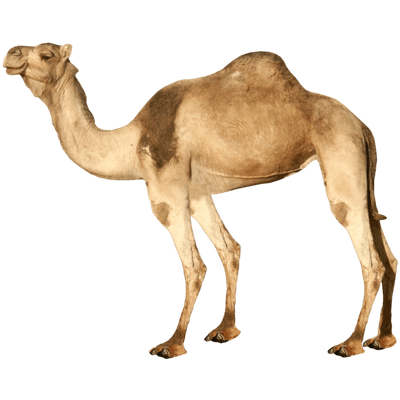 camel transparent png stickpng #21396