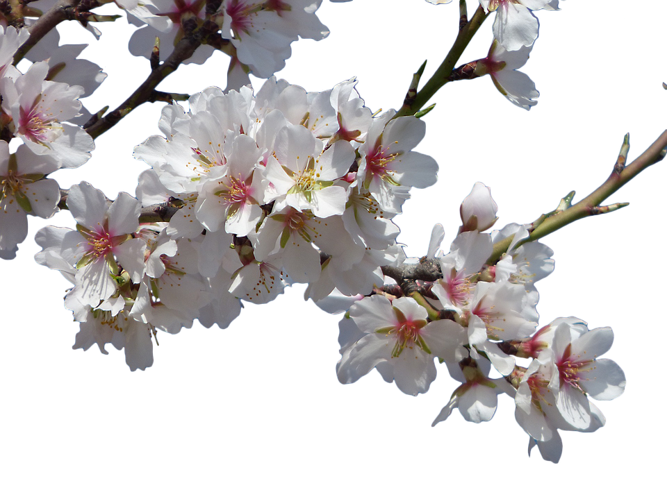 Cherry PNG Images, Cherry Blossom Transparent Free ...