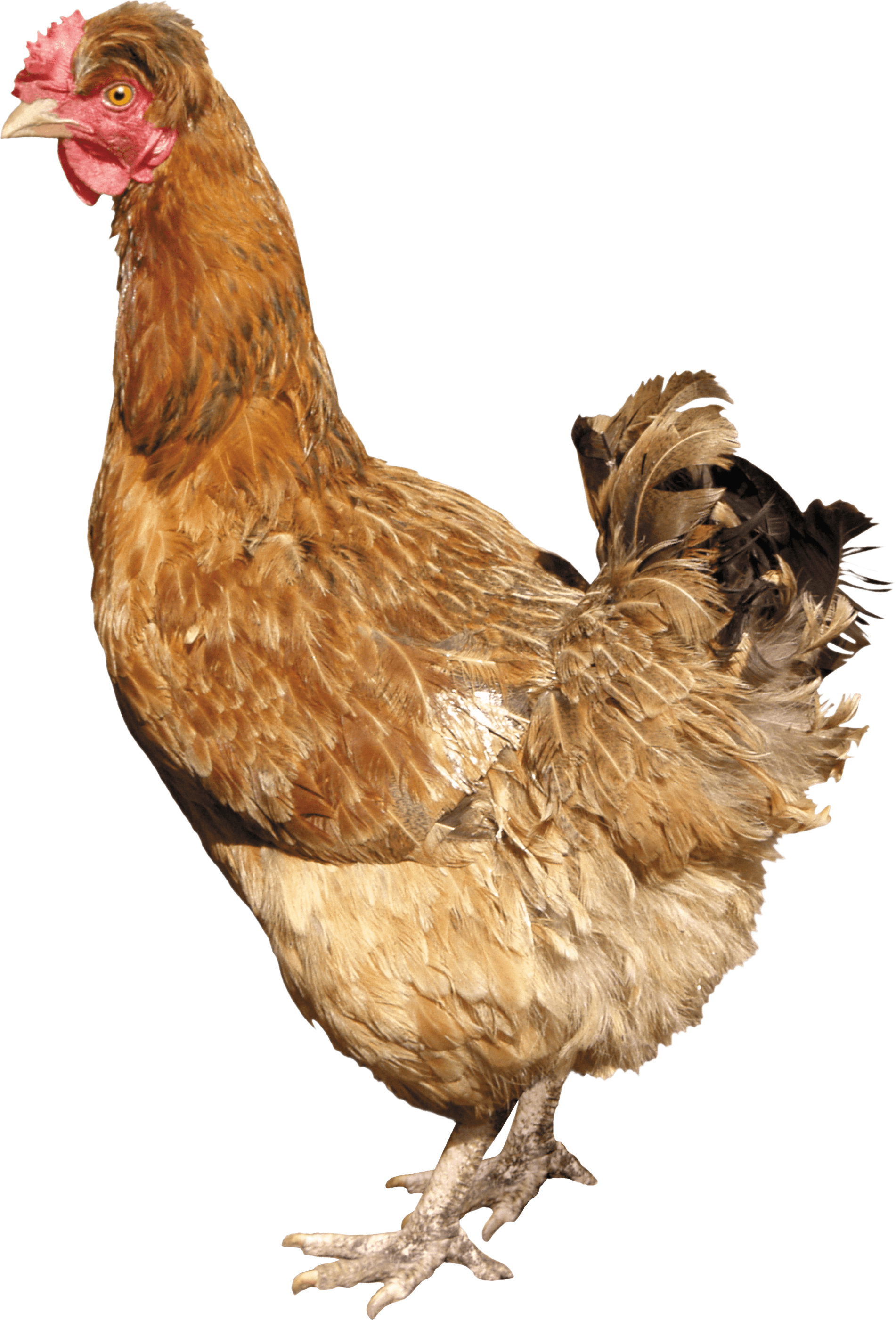 download chicken png image png image pngimg #13837