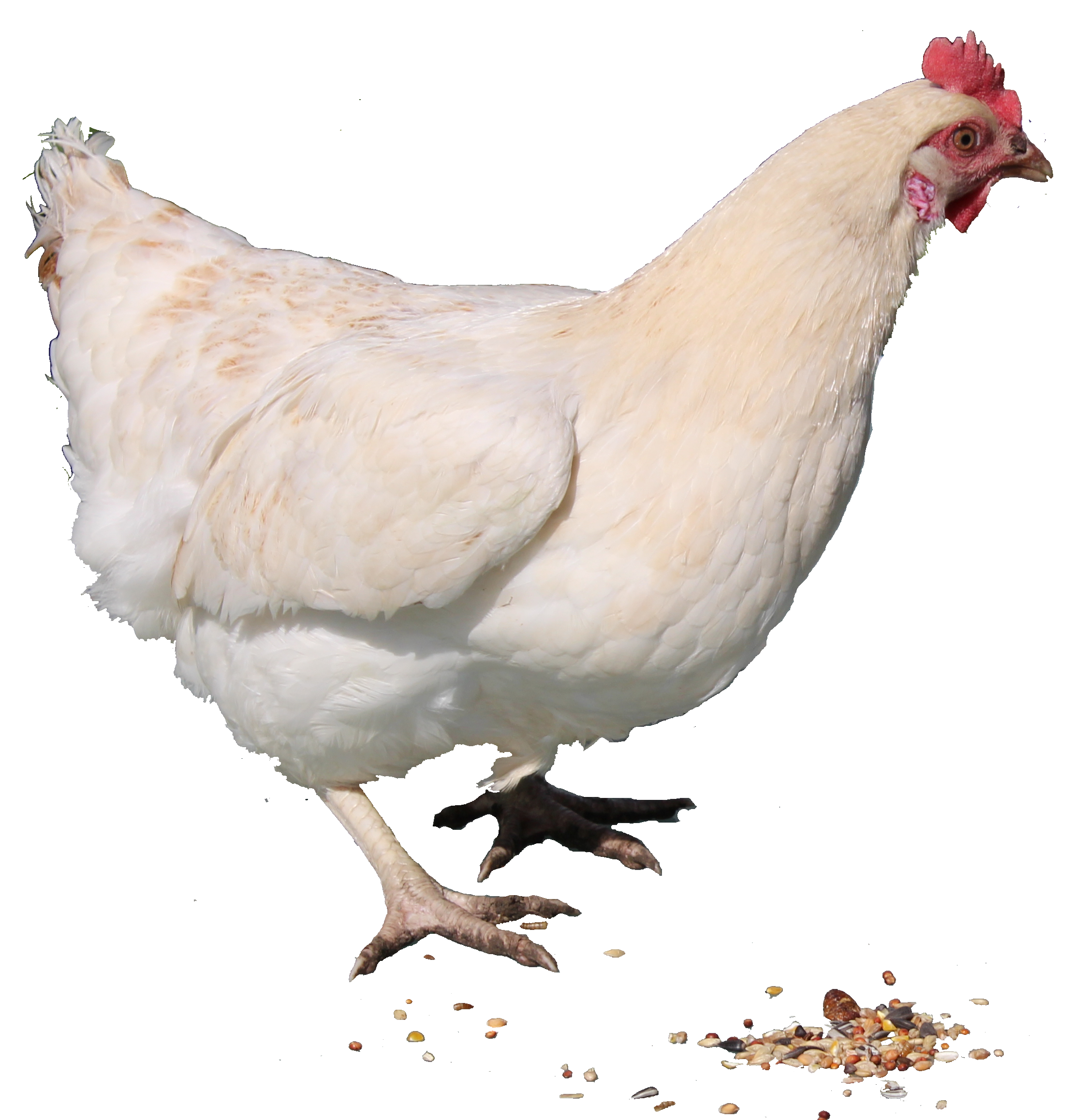 download chicken png png image pngimg #13812