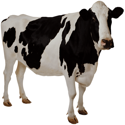 cow transparent background image #12746