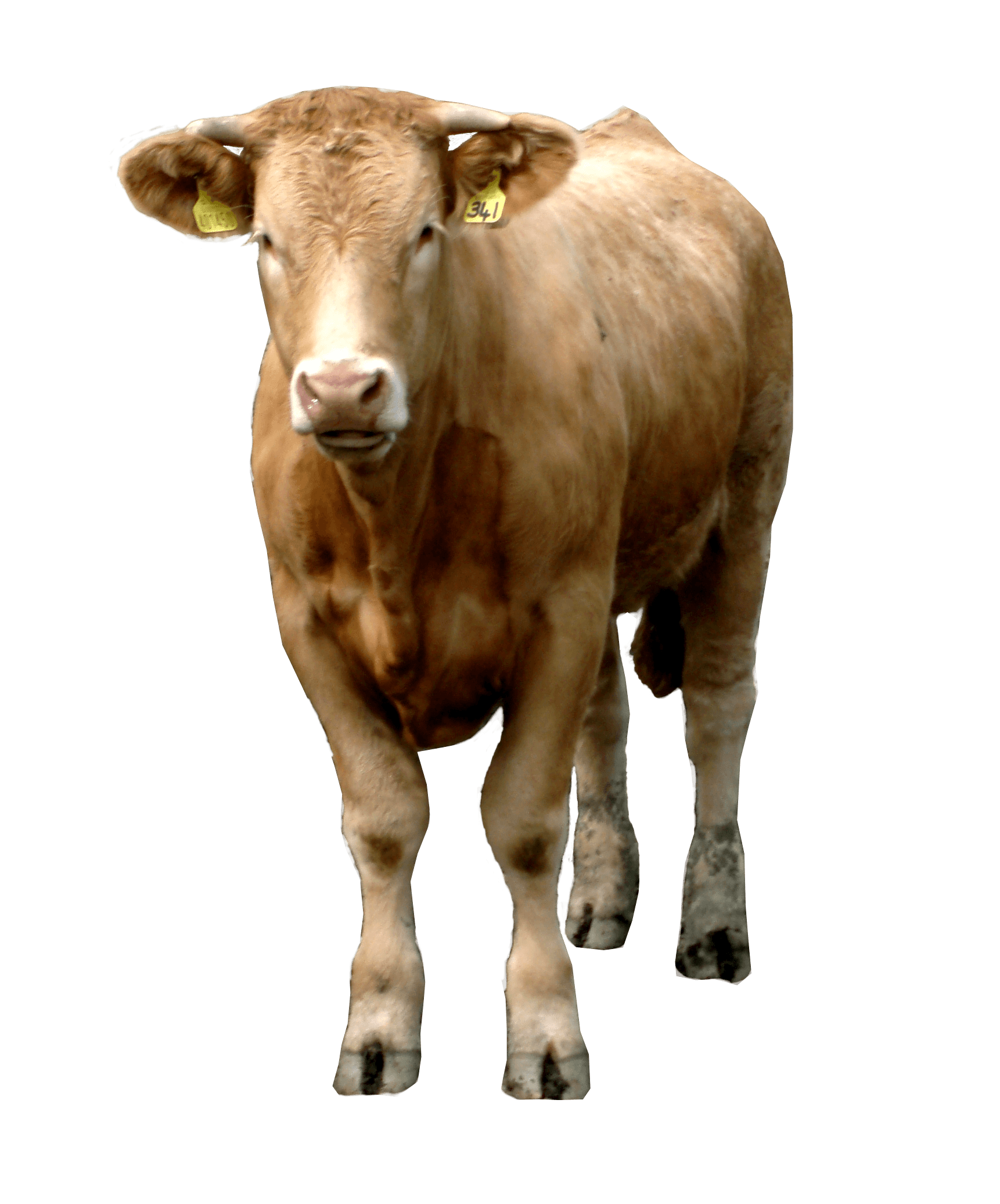 download brown cow png image png image pngimg #12889