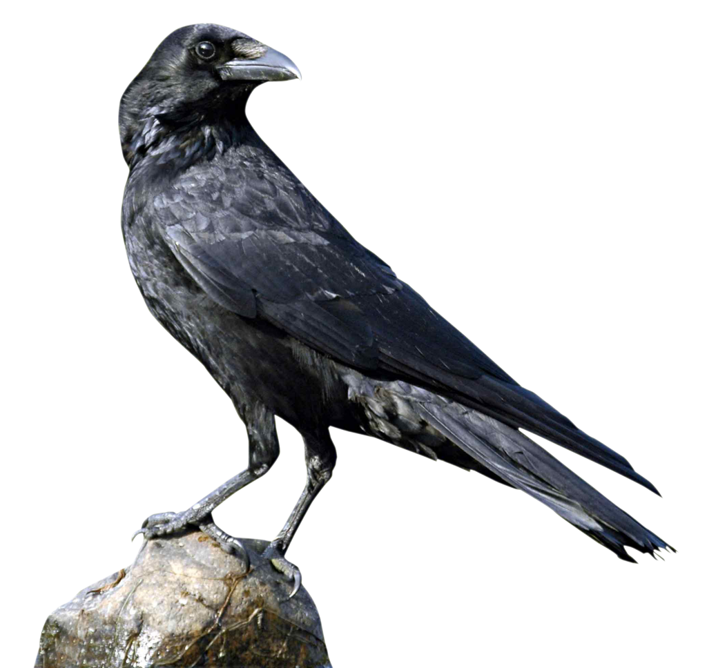 crow png images with transparent backgrounds photos #26944