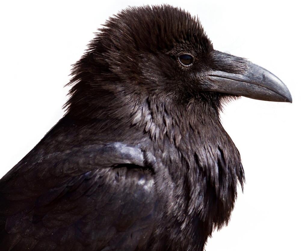 crow png images with transparent backgrounds photos #26963