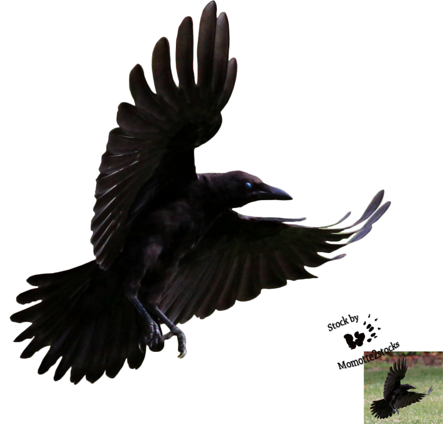 crow png images with transparent backgrounds photos #26967