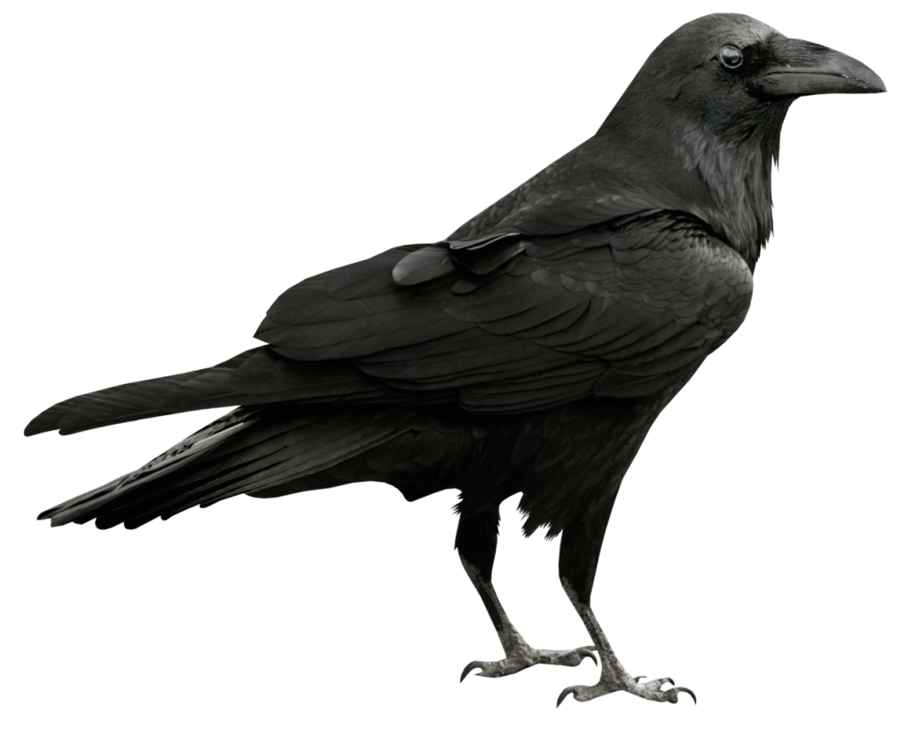 crow png images with transparent backgrounds photos #26976