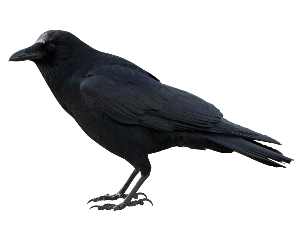 crow png images with transparent backgrounds photos #26948