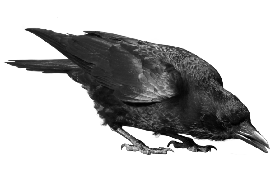 crow png images with transparent backgrounds photos #26997