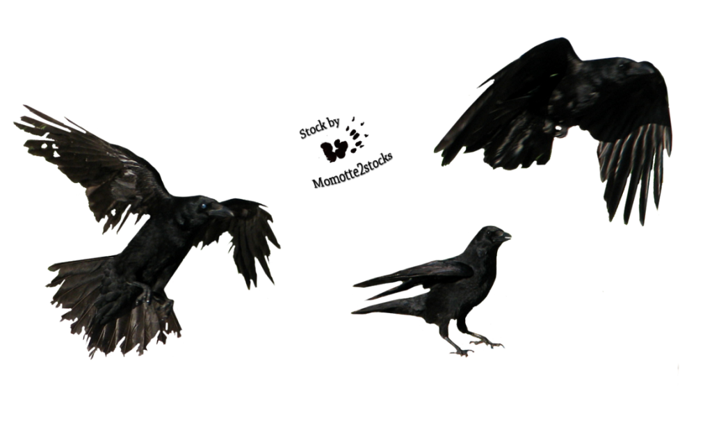 crow png images with transparent backgrounds photos #26998