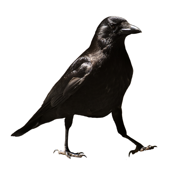 crow png images with transparent backgrounds photos #26957