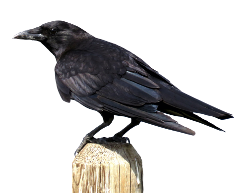 crow png transparent image pngpix #26955