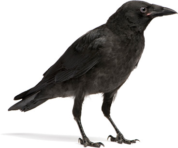 crow png transparent images png only #26952