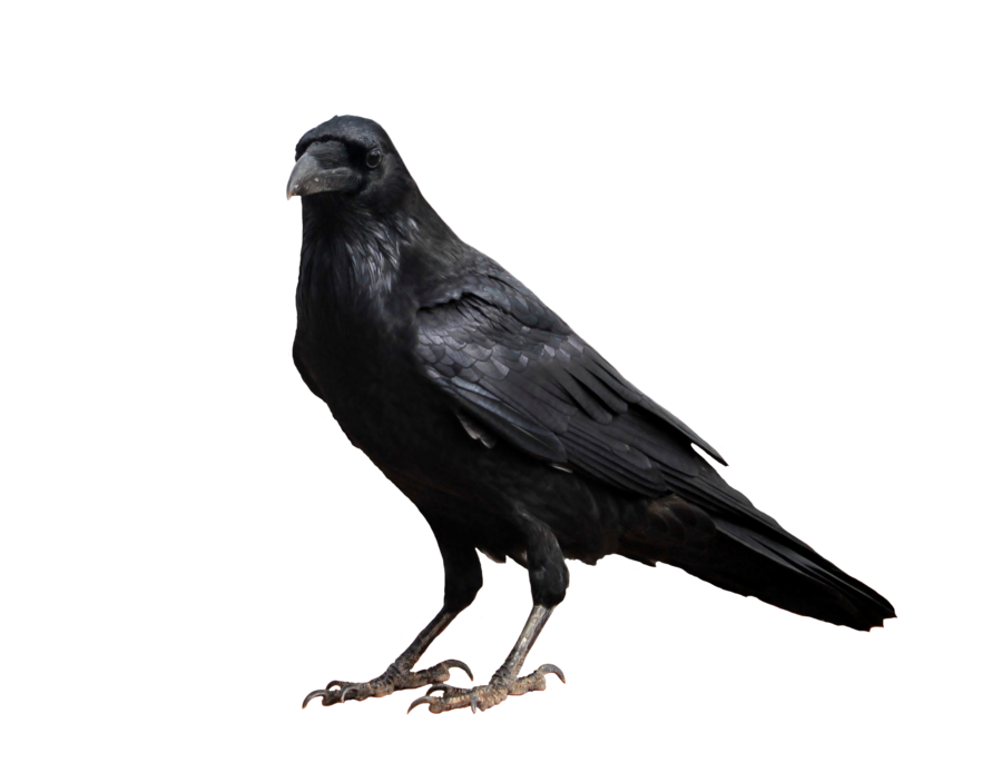 crow transparent background prussiaart deviantart #26993