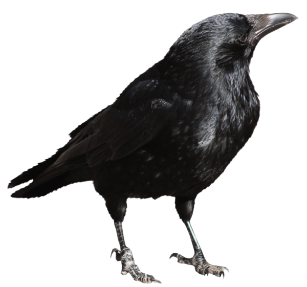 crow transparent png picture gallery yopriceville high #26984