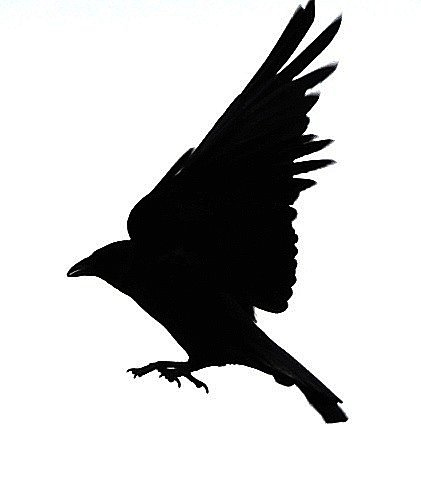 crow silhouette pattern getdrawingsm for #27617