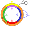 category cell cycle wikimedia commons #14921