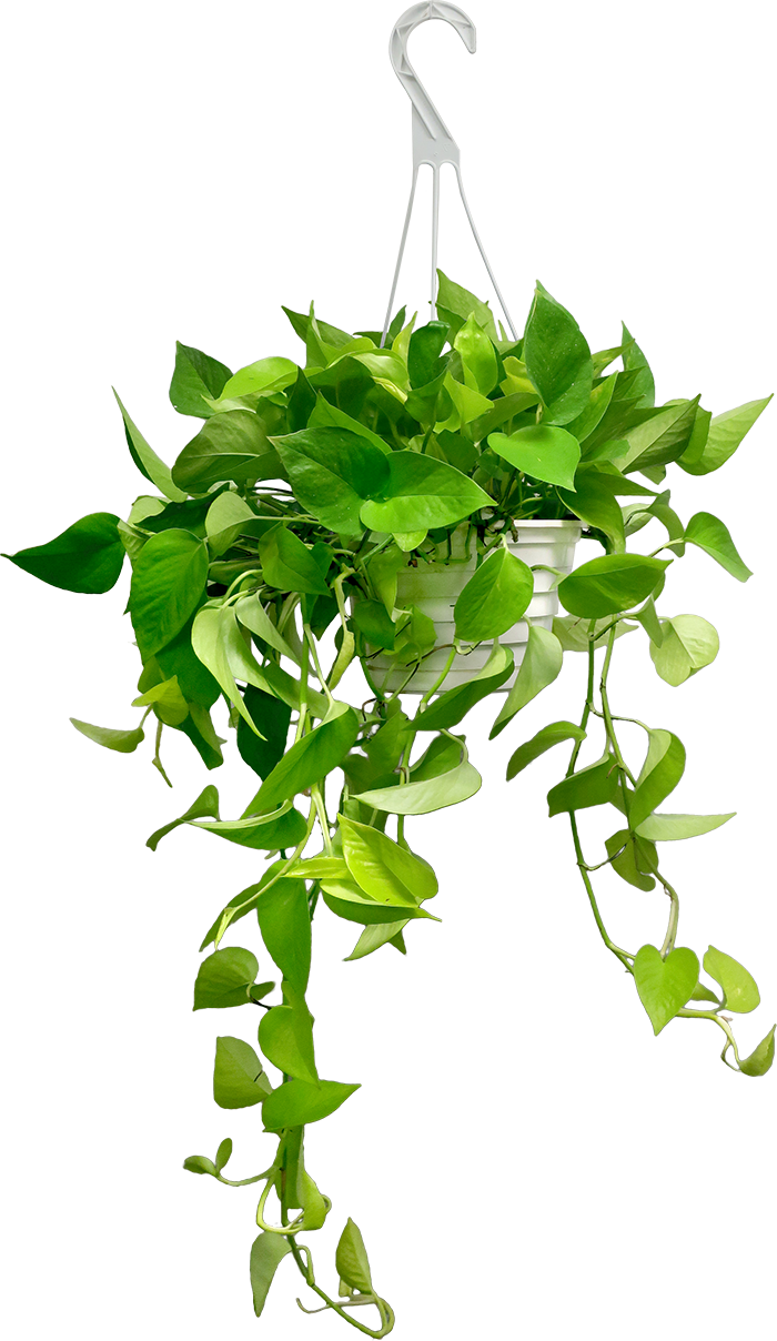 date plant, hanging basket houseplants chelsea garden center #32176