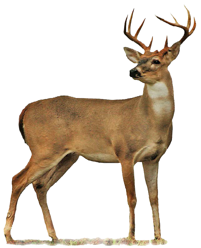 deer, buck clipart transparent pencil and color buck #22292