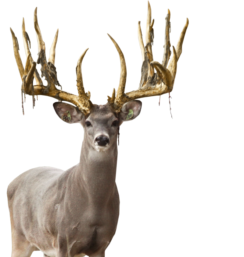 deer, home double dime whitetails #22325