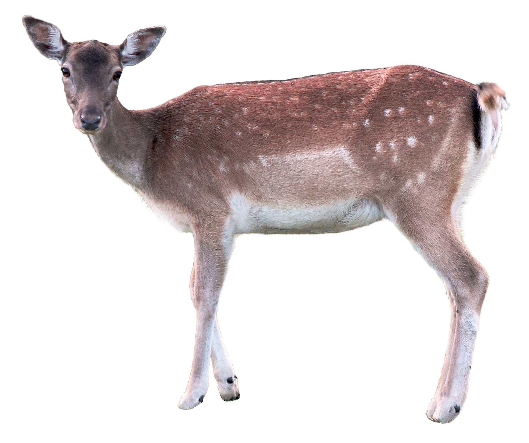 deer png transparent image pngpix #22304