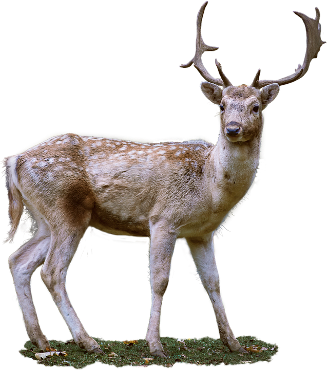 roe deer antler fallow photo pixabay #22293