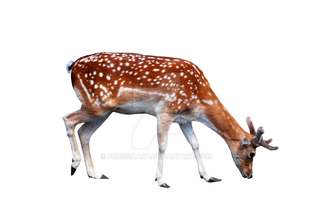 young deer transparent background png prussiaart #22329