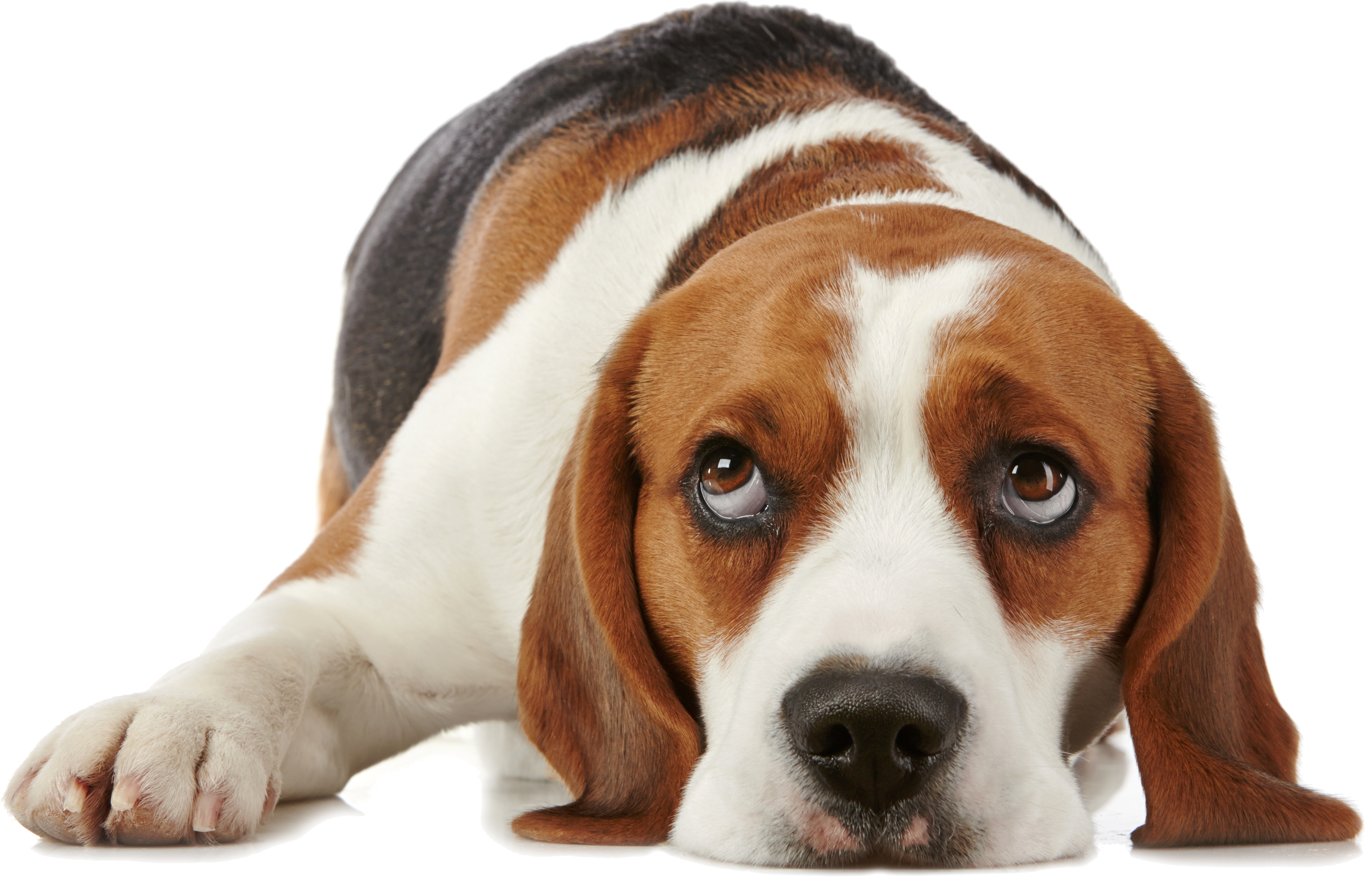 dog png for dogs allerpet south africa #11400