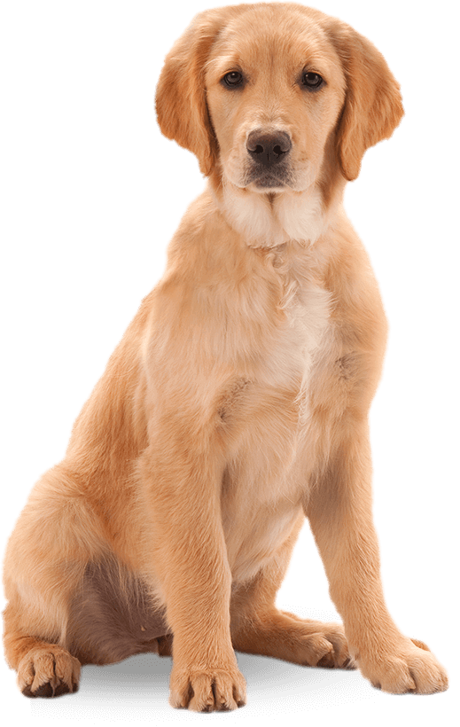 dog png puppy harringtons for healthy pets #11403